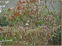 01ハナミズキに花芽が多数13-10-24