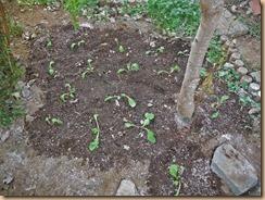 01#4畑に高菜の苗の植付け13-10-12