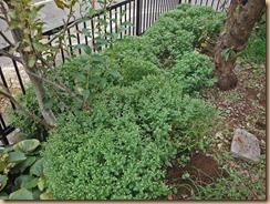 03花鉢移植後の#1畑のザル菊13-10-23