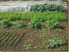 03カバーシートを外した野菜畑13-10-27