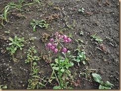 03ラッキョウの花13-10-30
