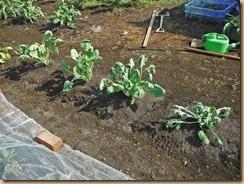 03移植後の芽キャベツ南畝13-10-31