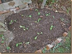 03#8畑に高菜の苗の植付け13-10-12