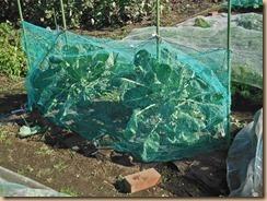 02芽キャベツにヒヨドリ対策ネット13-11-19
