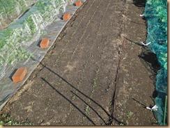 02追加種蒔きホウレンソウの発芽13-11-20