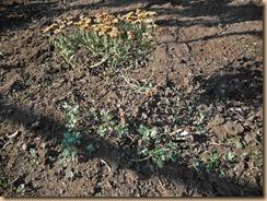 01ザル菊黄に新芽が多数13-12-5