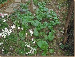 01#4畑の高菜の生育13-11-25