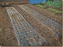 02農薬噴霧後のタマネギ畑13-11-27