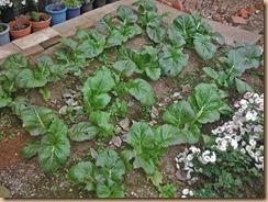 02#7畑の高菜の生育13-11-25