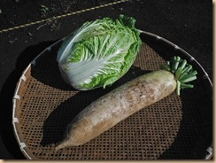 03白菜の初収獲13-11-27