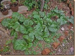 03#8畑の高菜の生育13-11-25