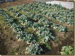 01収獲前のブロッコリー畑14-3-12