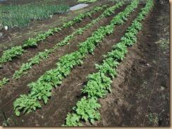 01ジャガイモの土寄せ14-4-23