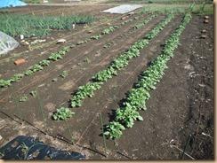 01芽掻き、土寄せ前のジャガイモ14-4-5