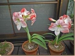 01アマリリスの開花14-5-29