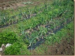 01収獲前の雑草に覆われた玉ネギ畑14-5-31