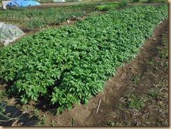 01ジャガイモ茎葉の生育14-5-4