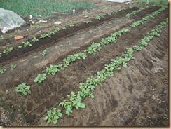 02芽掻き、土寄せ後のジャガイモ14-4-5