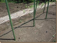 02ヤマトイモ蔓が支柱に巻き付く14-5-16
