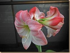 02アマリリスの開花14-5-29