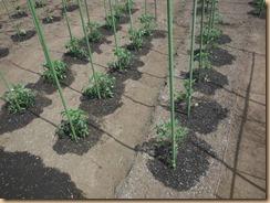 04トマトの生育14-5-12