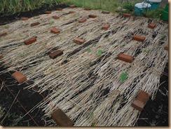 04ロープで敷き藁を抑えたサトイモ14-5-23
