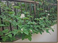 06ブラックベリーの開花14-5-29