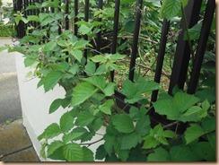 09ブラックベリーの花蕾14-5-15