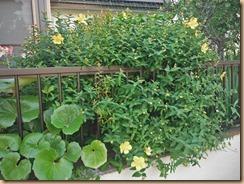 09キンシバイの開花14-5-29