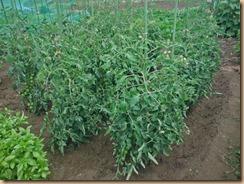 01トマトに施肥・土寄せ14-6-21