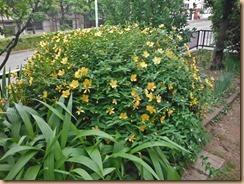02キンシバイの開花促進14-6-3