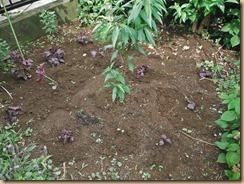 03赤シソ苗の植替え14-6-8