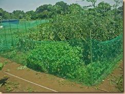 01ナス・トマトを防獣ネットで覆う14-7-16
