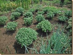 01ザル菊残の植え直し14-7-29