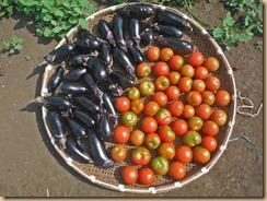 02ナス・トマトの収獲14-7-16