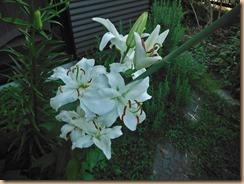 02カサブランカが咲く14-7-25