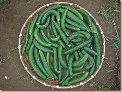 03野菜の収獲14-7-17
