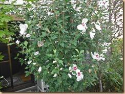 03ムクゲの開花14-7-25