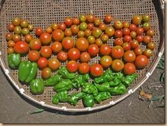 03トマトの収獲14-8-3