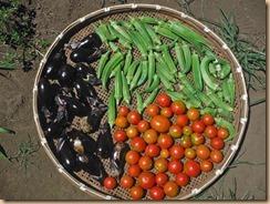 04野菜の収獲14-8-19