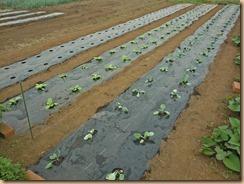 01白菜・ブロッコリーの苗を植付け14-9-17