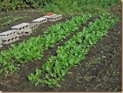 01ホウレンソウの雑草整理と補植14-10-27