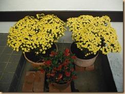01ザル菊の玄関花14-10-28