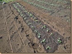 01のらぼう菜の植付け14-10-30
