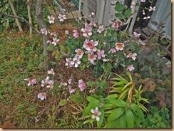 02秋明菊の開花14-10-10