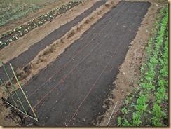 04絹さやえんどうの種蒔き14-10-30