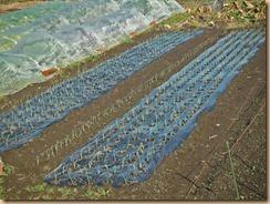 01タマネギの雑草整理と補植14-11-27
