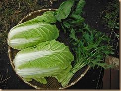 02白菜・水菜・小松菜収獲14-11-28