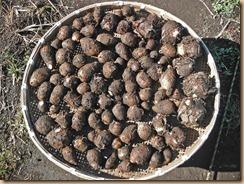 03サトイモ土垂の収獲14-11-27