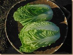04白菜の収獲14-12-5